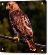 Red Tail Hawk Acrylic Print