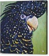Red Tailed Black Cockatoo  Acrylic Print