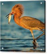 Reddish Egret With Fish Acrylic Print