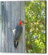 Redheaded Woodpecker Acrylic Print by Marie Bulger