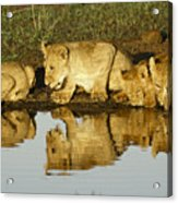 Reflected Lions Acrylic Print