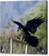 Resident Raven Acrylic Print
