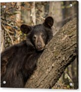 Resting Bear Acrylic Print