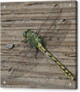 Resting Dragonfly Acrylic Print