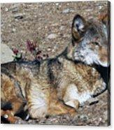 Resting Wolf Acrylic Print