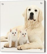 Retriever With Friendly Kittens Acrylic Print