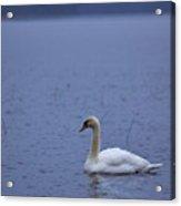 Rhapsody In Blue. Mute Swan Acrylic Print