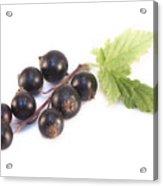 Ribes Nigrum Isolated Acrylic Print