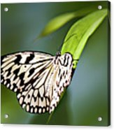 Rice Paper Butterfly 5 Acrylic Print