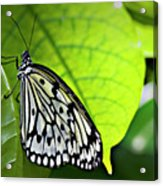 Rice Paper Butterfly 6 Acrylic Print