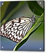 Rice Paper Butterfly 8 Acrylic Print