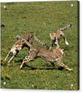 Ring Around The Cheetahs Acrylic Print