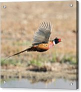 Ring Necked Pheasant on the Wing Acrylic Print