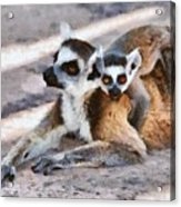Ring Tailed Lemur With Baby Acrylic Print