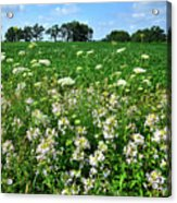 Roadside Wildflowers In Mchenry County Acrylic Print