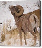 Rocky Mtn.big Horns Acrylic Print