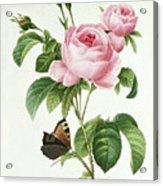 Rosa Centifolia Acrylic Print by Pierre Joseph Redoute
