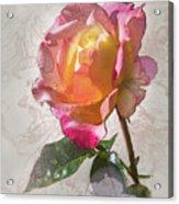 Rosa, 'glowing Peace' Acrylic Print