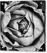 Rose Closeup In Monochrome Acrylic Print