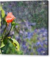 Rose Elegance  Acrylic Print