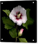 Rose Of Sharon Acrylic Print