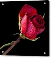 Rose Still Life  Acrylic Print by Robert Ullmann