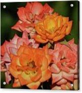 Pink And Orange Roses Acrylic Print