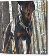 Rottweiler Kuchum Acrylic Print