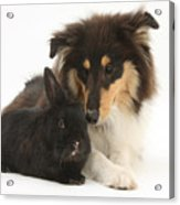 Rough Collie With Black Rabbit Acrylic Print