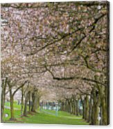 Rows Of Cherry Blossom Trees In Spring Acrylic Print