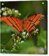 Ruddy Daggerwing Butterfly Acrylic Print