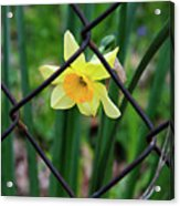 1 Sad Daffy Behind Bars Acrylic Print