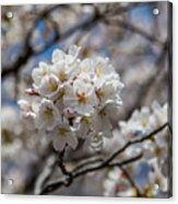 Sakura Spring Acrylic Print