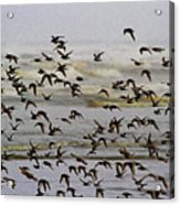 Sand Pipers In Flight Acrylic Print