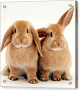 Sandy Lop Rabbits Acrylic Print
