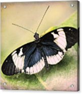 Sapho Longwing Butterfly Acrylic Print