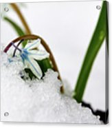 Scilla On Snow Acrylic Print
