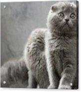 Scottish Fold Cats Acrylic Print by Evgeniy Lankin