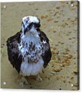 Sea Hawk Standing In Shallow Water Acrylic Print