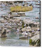 Seagulls On The Rocks Acrylic Print