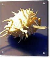 Seashell Spondylus Americanus Acrylic Print