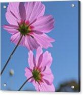 Sensation Cosmos Bipinnatus Pink Cosmos Standing Up Towerd Sky Acrylic Print