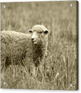Sheep In A Meadow Acrylic Print