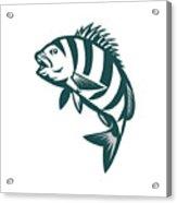 Sheepshead Fish Jumping Isolated Retro Acrylic Print