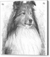 Sheltie Pencil Portrait Acrylic Print