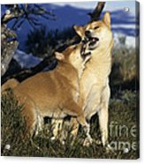 Shiba Inu And Her Puppy Acrylic Print