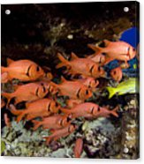 Shoulderbar Soldierfish Acrylic Print