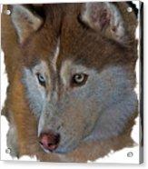 Siberian Husky Acrylic Print by Larry Linton