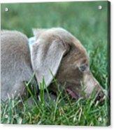 Silver Labrador Retriever Puppy  Acrylic Print
