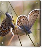 Silver-studded Blue Butterflies Acrylic Print